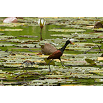 Wattled Jacana with Baby