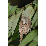 Rufous-breasted Hermit in Nest