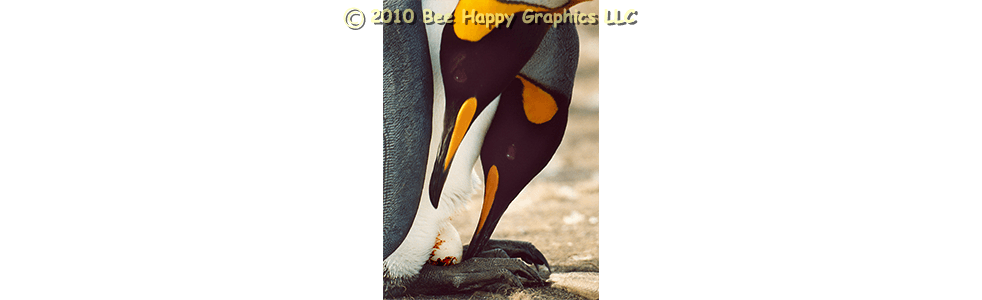 King Penguins with Egg