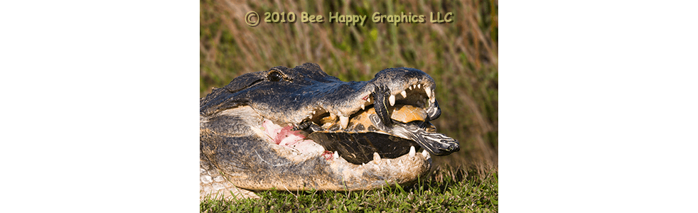 Alligator with Peninsula Cooter