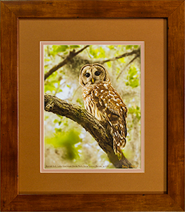 Framed Barred Owl 6
