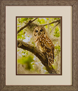 Framed Barred Owl 8