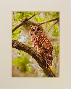 Matted Barred Owl 9