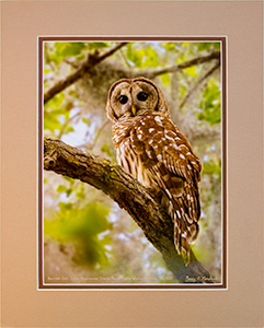 Matted Barred Owl 10
