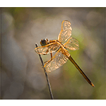 On Golden Gossamer Wings