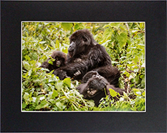 Matted Gorilla Family 1