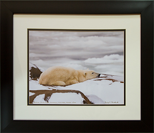 Framed Resting Polar Bear 2