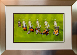 Framed Emerging Monarch 3