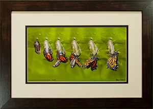 Framed Emerging Monarch 19
