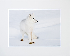 Matted Arctic Fox 8