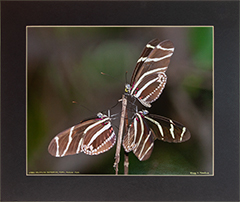 Matted Longwing 1