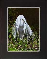 Matted Great Egret 1